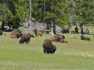 YellowstoneBison